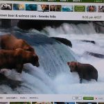 Live Webcam of Brown Bears Catching Salmon