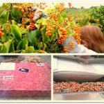 Bittersweet Berries and Vines Swag Wreath